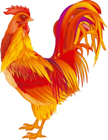 fowls: red-yellow rooster on white background Illustration