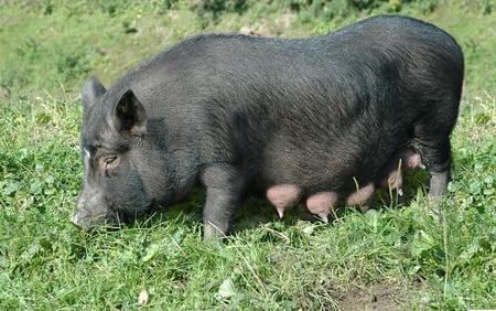 lactating female black pig on green grass Stock Photo