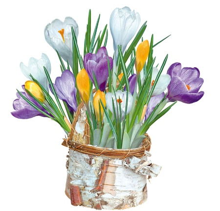 Crocuses in a basket of birch bark,isolated on white