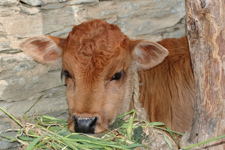 farmyard: portrait of a little red calf at the grasses