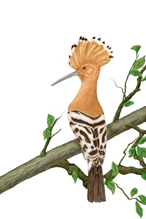 aves: Crested hoopoe sitting on a tree branch, Illustration