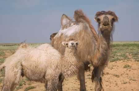 young camel and adult female camel against the background desert steppes of Kazakhstan Stockfoto