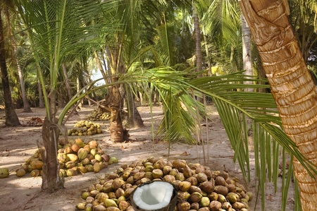 coconut plantations and harvest coconuts under the palm trees photo