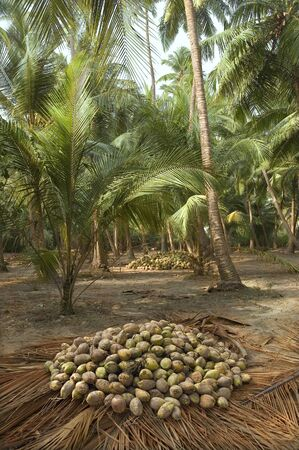 harvest coconuts collected from trees in coconut plantations photo