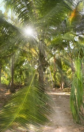 a ray of sunshine in the crown of a coconut palm growing on the plantation of palm trees photo