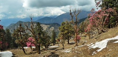 blooming rhododendron forest on the mountain ranges of Himalayas; Chopta and Ukhimath, Uttarakhand, India