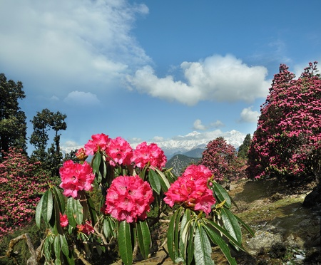 rhododendron flowers on a background of the sky in the clouds  Himalayas