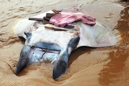 fished: fished by fishermen manta ray Manta birostris lying on the bank of the cut of meat