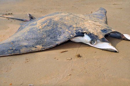 fished: manta fished by fishermen and lying on the beach Stock Photo