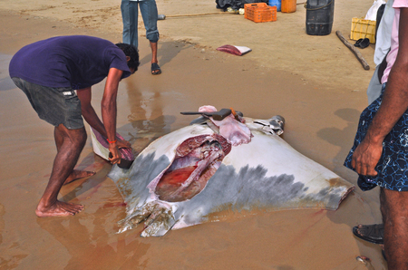 india fisherman: fisherman carve cuts of meat from a manta ray  Fishing in the village Vadarevu of Andhra Pradesh, India
