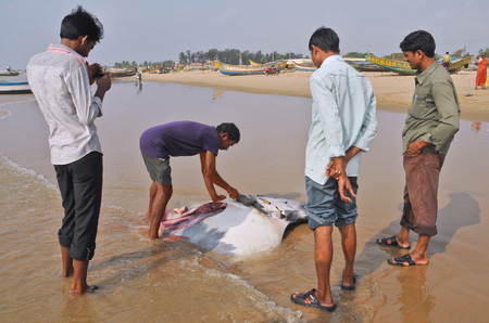 butchered: CHIRALA, INDIA - February 16  Fishing catch manta ray in the Indian Ocean in the village Vadarevu on february 16; 2013 in Vadarevu, Chirala, Andhra Pradesh, India  Editorial