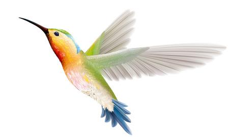Kolibri auf weißem Hintergrund