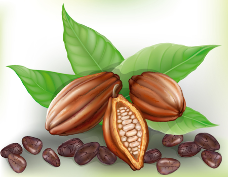 cacao: cocoa fruit, cut fruit and grains on a green leaves  Illustration