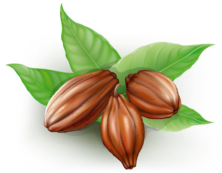 Cacao fruits and leaves on a white background