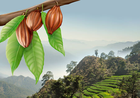 tree branch with cacao fruits on a background of mountain landscape Stockfoto