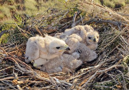 Långa ben Buzzard ung chick i boet De sällsynta fågel buteo Rufinus av bytes skyddad art Stockfoto