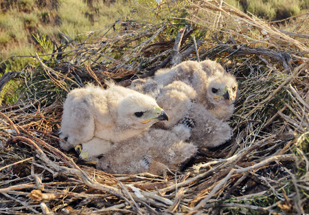 trustful: Long legged Buzzard young chick in the nest  The rare bird Buteo rufinus of prey protected species  Stock Photo