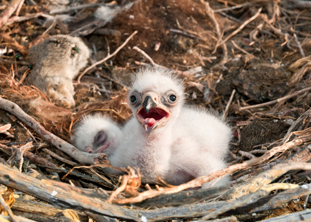 fledgling: Steppe Eagle young chick in the nest  The rare bird Aquila nipalensis of prey protected species