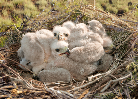 Long legged Buzzard young chick in the nest  The rare bird Buteo rufinus of prey protected species  Stockfoto