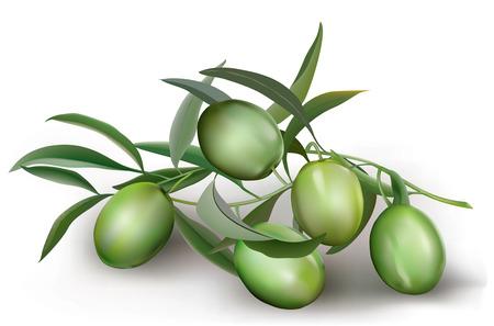 Olive verdi ramo con foglie. illustrazione vettoriale Archivio Fotografico - 37191397