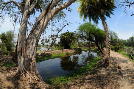 Mighty old ficus trees and palm trees on the background of a tropical landscape in Keoladeo National Park Stockfoto