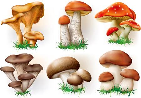 mushroom: vector illustration of various fungi boletus champignon Leccinum Chanterelle Oyster