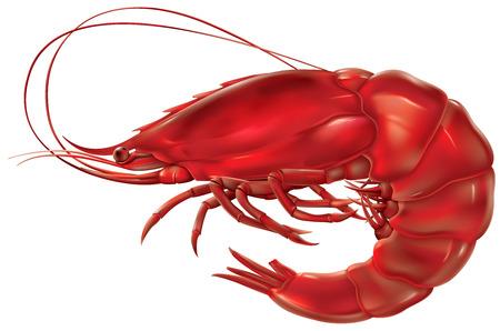 camaron: gamba roja sobre un fondo blanco. ilustración vectorial Vectores