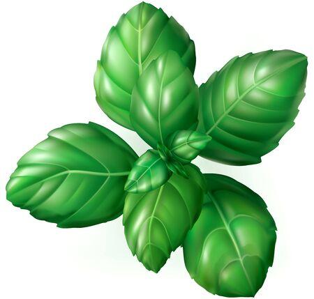 basil leaf: Green basil leaves on white background. Vector illustration Illustration