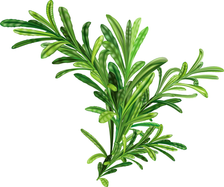 Rosemary twigs on white background. Vector illustration 向量圖像