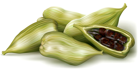 aromatic: Cardamom, pods and cut pod with seeds. Vector illustration Illustration
