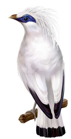 rare: Bali Myna Leucopsar rothschildi rare endemic bird and faunal emblem of Bali. vector illustration