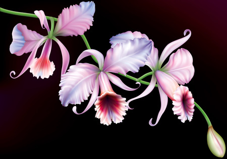 Orchid cattleya flowers on a black background. vector illustration
