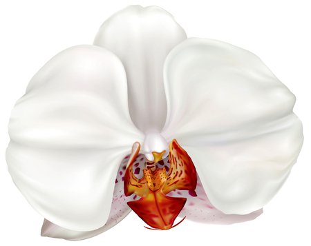 White Phalaenopsis orchid flower on white. Vector illustration