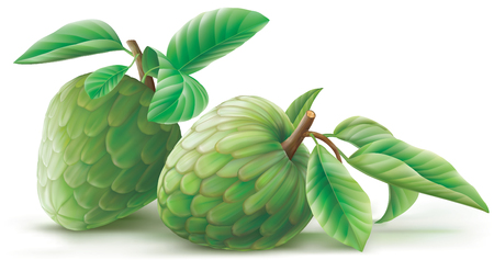 illustration Annona cherimoya sweet custard fruit.