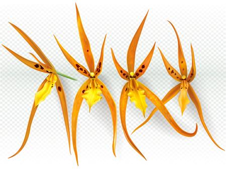 Orchid flowers Brassada Orange Delight on a transparent background. Vector illustration