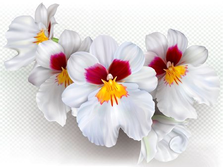 Orchid flowers Miltoniopsis Herralexander on a transparent background. Vector illustration