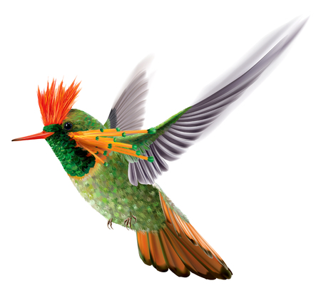 Hummingbird tufted coquette Lophornis ornatus in flight on a white background. Vector curves and mesh illustration Ilustrace