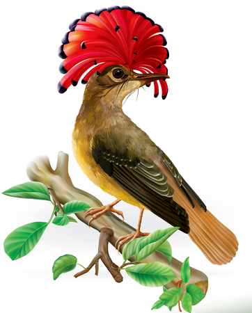 Amazonian royal flycatcher with red crest on a white background Imagens - 120223837
