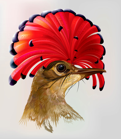 Head Amazonian royal flycatcher with red crest on a gray background