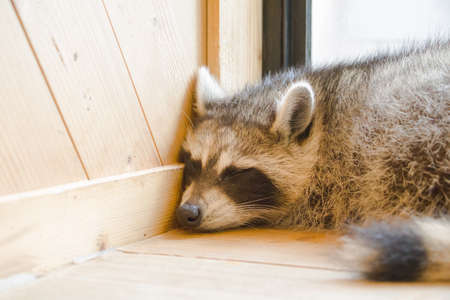 racoon: Racoon sleep in room corner