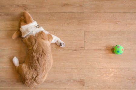 Corgi dog sleep next to green toy ball