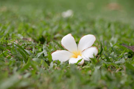 Frangipani on the green grass field in the park