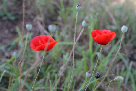 Bright red poppy flowers in spring close  photo