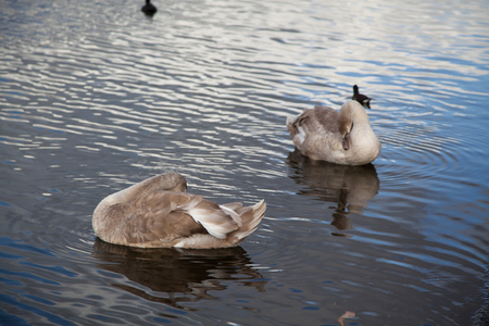 hyde: Canada Geese in Hyde Park Stock Photo