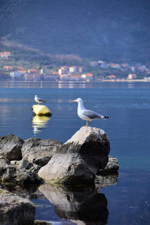 Seagull resting on the rock. Another seagull in the background on a buoy. Calm water. Photo taken in the Bay of Boka Kotorska, Montenegro. Banque d'images