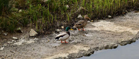 Two ducks walking along the river. Muddy ground.