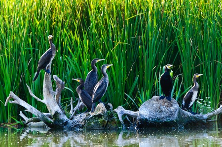 the danube: cormorants in the danube delta Stock Photo