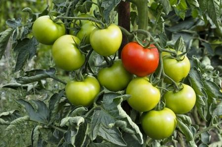 분기에 빨간색과 녹색 유기농 토마토