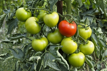 rode en groene biologische tomaten op tak Stockfoto