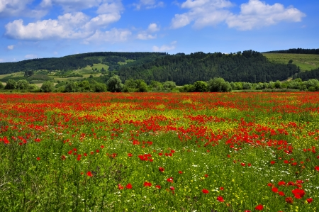 opium poppy: a beautiful landscape with field of red poppies Stock Photo